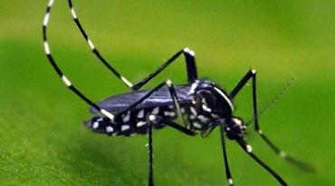 Asian Tiger Mosquito Native To New Jersey